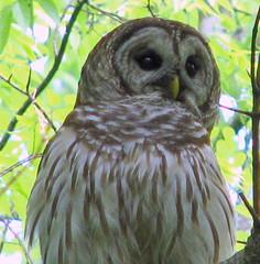 Barred owl, Radnor Lake, Nashville, TN