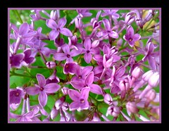 First Lilac (KCFemme (FireTipPhotography)) Tags: nature nokia spring bush lilac bloom picnik n95 excellentsflowers natureselegantshots mimamorflowers