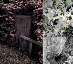 170508 (chub! (:) Tags: park pink flowers white tree photography chub richmond stump trio