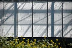 (akiruna) Tags: flowers shadow white lines shadows veil geometry urbannature geometrie akiruna annemiehiele haphazartgeometrics wwwannemiehielenl annemiehielenl