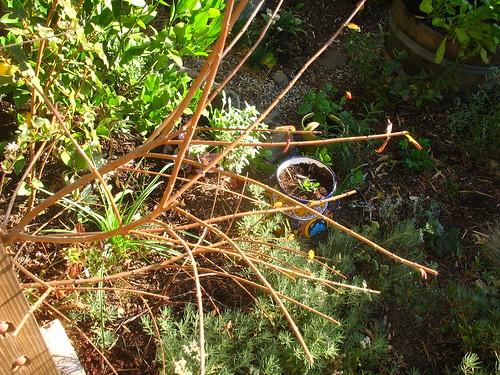 Keckiella cordifolia