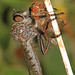 Robber Fly and fly prey, Packer Lake, California