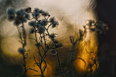 Sunset texture in the grass_c (gnarlydog) Tags: adaptedlens refittedlens bokeh texture willwetzlarmaginon85mmf28 projectionlens nature flowers backlit contrejour sunset australia manualfocus microfourthirds