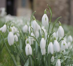 Ide Hill Churchyard Kent (Adam Swaine) Tags: snowdrops idehill flora flowers flower petals churchyard naturelovers nature kent swaine england english british counties countryside villages britain canon