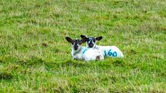 Siblings (Mark Rainbird) Tags: powershots100 sheep canon lambs ufton uk uftonnervet england unitedkingdom gb