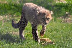 Africa Alive: Cheetah Cub (--CWH--) Tags: africa animals cub nikon species cheetah alive endangered mammals cheetahcub banhamzoo d90 banham fobz africaalive animalkingdomelite visitengland nikond90 enjoyengland chrishumphries animalshootscom animalshoots
