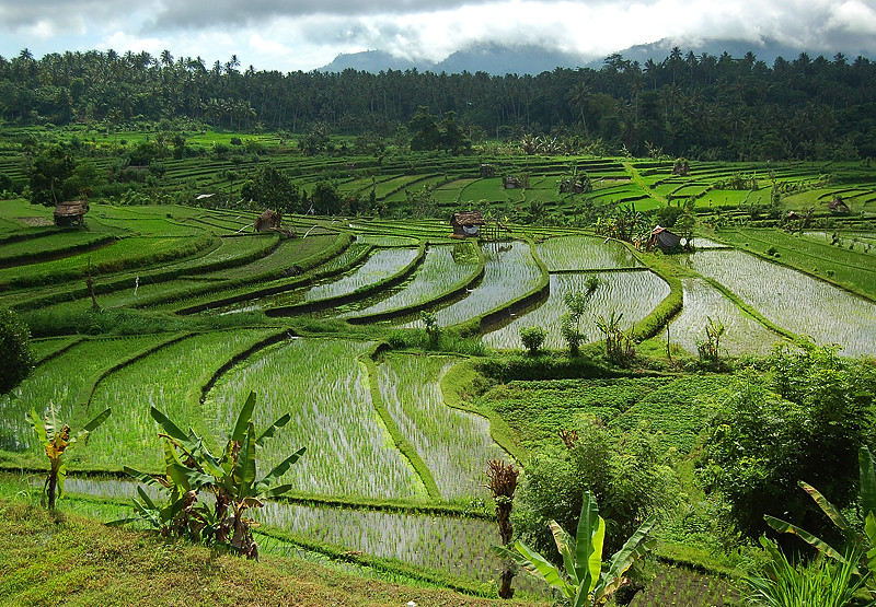 _Bali_rice_field_5_