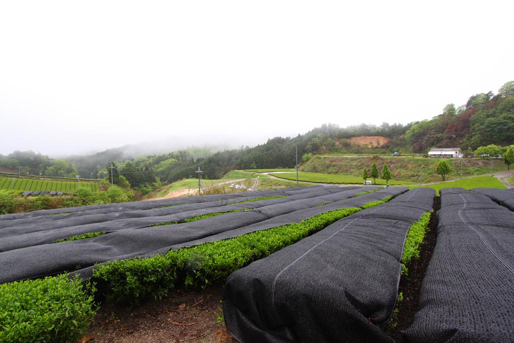 Inokura tea garden (8)