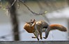Hang On, We're Moving!! (Ken Yuel Photography) Tags: backyard woodenfence onthemove redsquirrels babysquirrels digitalagent phvalue stayoutofmyyard kenyuel howtocarryasquirrel mothersquirrelcarryingherbabies mothersquirrelcarriesbabysquirrelinhermouth