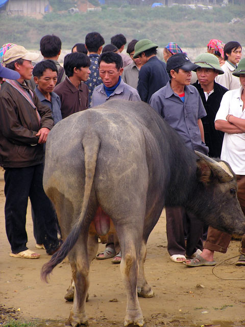 Buffalo on sale at Bac Ha Market