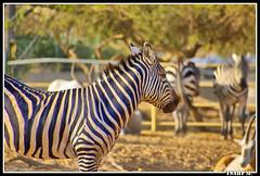zebra (Isaac M. (Halifax)) Tags: animal zebra ashdod jalalspagesanimalkingdom