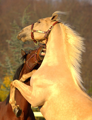 Horse Play (William  Dalton) Tags: horses horse searchthebest soe horseplay galope blueribbonwinner flickrsbest mywinners abigfave anawesomeshot impressedbeauty diamondclassphotographer excellentphotographerawards