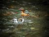 Torrent Ducks (mlretter) Tags: nwecuador wvenezuela