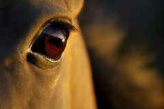 the golden light of the setting sun (Dan65) Tags: sunset horse sun sunlight eye gold golden dusk teke akhal akhalteke abigfave gazan