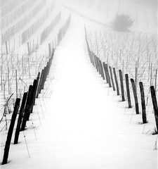 Vineyard (cienne45) Tags: winter friends snow ilovenature vineyard quote snowfall inspire piedmont gavi themoulinrouge photographia 100comments 25faves xploremypix bonzag 30faves30comments300views 150comments platinumheartaward excapture theperfectphotographer 100commentgroup top2008 superphotoex aplusphotoex aphotoex