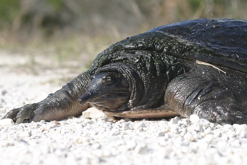 Florida Softshell Turtle (I think)