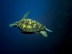 Flying turtle (nostramar) Tags: indonesia couple turtle dive diving sunburst tortuga manado buceo bunaken nostramar