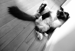 Bow-Chicka-Bow-Ow (~ Liberty Images) Tags: bw pet cute cat canon furry feline funny soft fuzzy kitty fluffy powershot gato paws sillycat beloved kittyporn remington birman a630 moggie remmy muchbeloved abigfave impressedbeauty mycrazycat ilovemypic iamonesexykitty