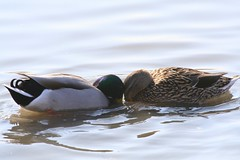 Mallard headbutt (Cindy) Tags: mallard