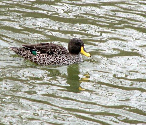 mallard variety  zoo lake