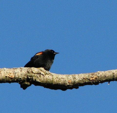 red-shouldered blackbird forest park 100208