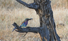 our second kill, the lilac breasted roller with a armoured grasshopper