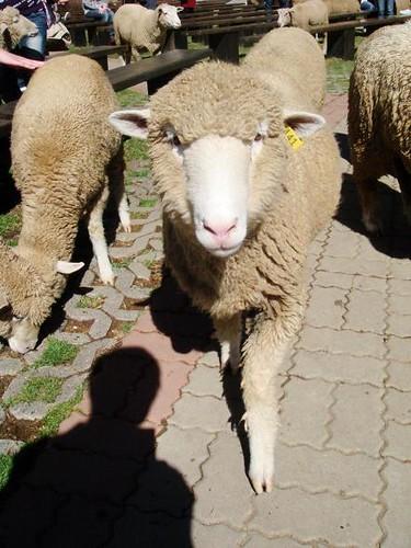 beautiful sheep
