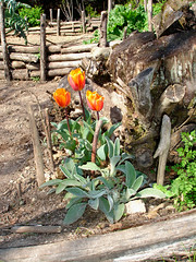 Pinkish orangy tulips that I'm so glad I planted (hardworkinghippy) Tags: france water terraces using organic treeroots permaculture harvesting biologique raisedbeds orangetulips bourrou terracedgardens hardworkinghippy lafermedesourrou slopinggarden slopinggardens jardinenpente terracinggarden gardeningonaslope permacultureonaslope usingaslopetomakeagarden fairebougerlapermacultureenfrance