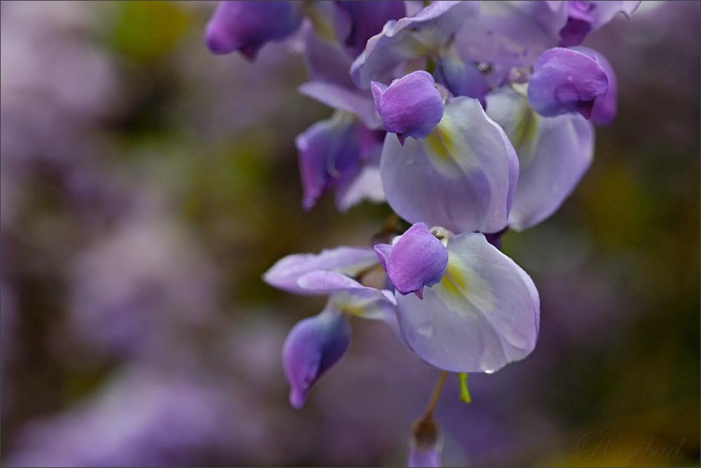 untitled (wisteria) ©2008 RosebudPenfold