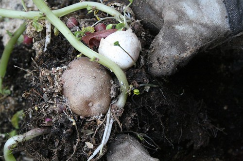 potatoes from the compost