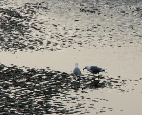 Gulls on the estuary