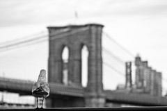 looking the bridge thinking about the sense of life (& the city) (alicudi) Tags: nyc usa ny manhattan seagull brooklin gabbiano iloveit pontedibrooklin qualitypixels llovemypics mariateresadellaquila