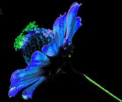 blu flower (Giancarlo Mella (OFF)) Tags: italy photography photo blu digitalcamera fiori mella mywinners eyecandyart giancarlomella