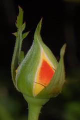 flores: rosa (Edison Zanatto) Tags: brazil naturaleza flores flower macro verde green southamerica nature rose closeup brasil nikon natureza natur flor rosa boto d200 blume americadosul sdamerika nikond200 edyluigi continentesulamericano edisonzanatto