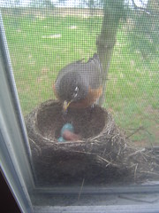 Mama Robin checking on her babes