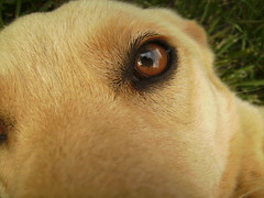 Clouded Eyes (The Eighteenth Risk Taken) Tags: dog cute eye grass yard goldenretriever puppy polaroid nose happy golden nice mutt mix eyes puppies lab labrador sweet tan fluffy retriever blond blonde hyper doggy pup doggie bandi t730 polaroidt730