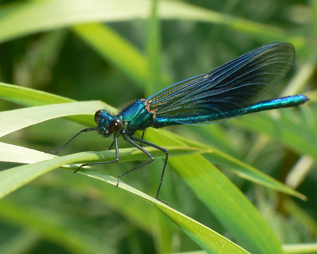 banded demoiselle male close up