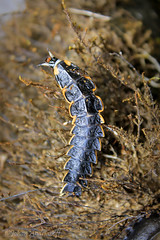 La bestia (Johan Andrianoff) Tags: insect insecto bicho artropodo cienpies