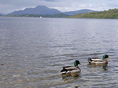 Ducky (W F B) Tags: bird water scotland duck nikon ben wildlife mallard loch lomond benlomond lochlomond