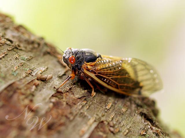 cicada side