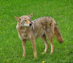 Coyote Mother (Trish Overton) Tags: coyote wild animal mother evansvillein stjosephcatholiccemeteryevansvillein