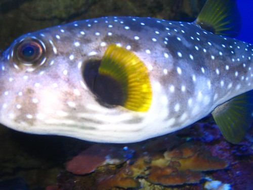 spotted fish close-up