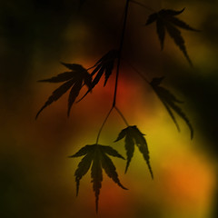 autumnal equinox (ajpscs) Tags: autumn light japan japanese tokyo illusion chiba 日本 nippon 東京 千葉県 gtaggroup ajpscs 養老渓谷 yorokeikoku yorovalley silhouettedautumn existingonlyintheimagination dreamedup