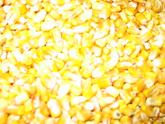 Corn Kernel (flash)_4150