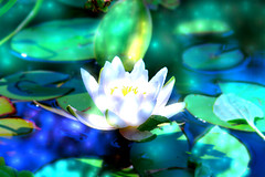 water lily, processed