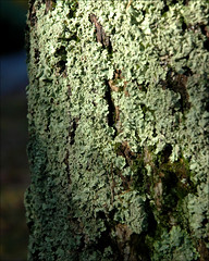 Lichen (tschopper (Tom Schopper Photography)) Tags: tree woods pennsylvania lichen hawley