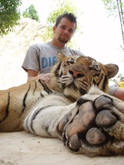 New pet (Pieter D) Tags: portrait animal danger thailand temple tiger predator kanchanaburi tigertemple pieterd