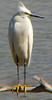 Egret (Snowie white) Birds (gsb_viva) Tags: life wild india nature wonderful alone superb unique class egret 1stclass shani snowyegret wonderfull viewable shaani beautifulcapture natureandwildlife superbshot thatsclass gsbviva uniqueclass superbclass