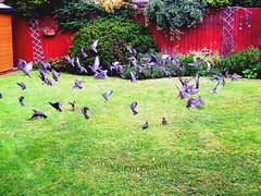 Sticking Together (Dev Parmar) Tags: green birds garden acocks