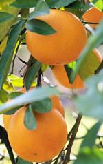 LA Citrus
